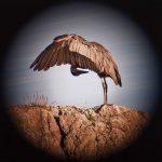 A heron preening