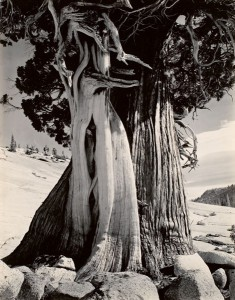 Juniper, Tenaya Lake, 1937