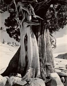 Juniper, Tenaya Lake, 1937